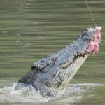 Feeding the crocodiles