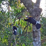 toucans working on a nest