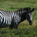 A zebra almost close enough to touch!