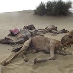 A lot of respect for Camels