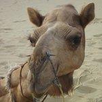 One Camel each