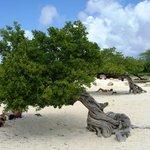 Divi-Divi Eagle Beach