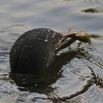 Loon with crayfish