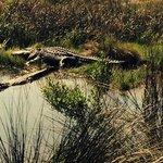 alligators seen on a nature walk