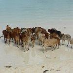 Mucche in spiaggia