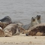 Pod of Seals Sea Palling