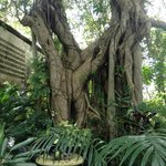 huge banyon tree