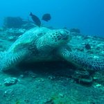 Turtle on Sea Tiger cargo ship - 90 foot depth