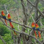 Scarlet macaws at the Ara Project