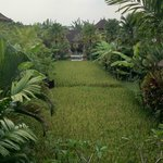 Padi field view from room