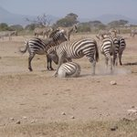 Playing zebras