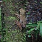 rocket tree frog
