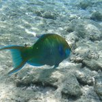 blue parrotfish just in front of the camera