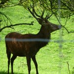 Stag in nearby field
