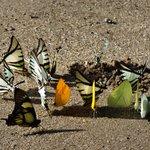Butterflies licking minerals