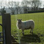 Friendly sheep beside the house