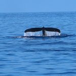 Humpback whales on our Ocean Sports Breakfast with Whales Cruise
