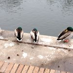 Frozen ducks on the Riverwalk