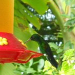A Hummingbird being fed at one of the feeders at AF
