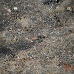 Fiddler crab...see him??