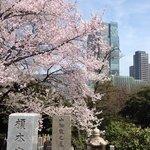 Aoyama cemetry' cherry blossoms next to The Grand Hyatt