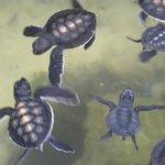 Baby Turtles at the Harbaraduwa Sea Turtle Farm & Hatchery