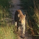 Early morning leopard sighting