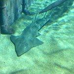 Shovelnose Rays -- look like half shark, half ray