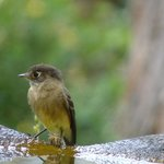 black capped flycatcher