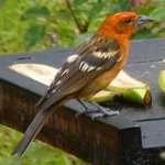 Flame Tanager