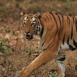 Un tigre dans le parc de Tadoba