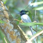 An asian paradise flycatcher before bath