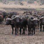 Herd of buffalo during sunset