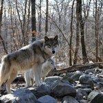 Lakota Wolf Preserve 2