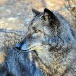 Lakota Wolf Preserve 1
