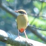 Indian Pitta in the Tea plantation