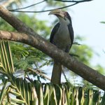 The endemic Sri Lankan Grey Hornbill is nesting at Niyagama House