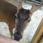 Deer Licking My Arm