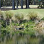 Alligator on golf course