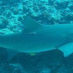 Lemon Shark on our first dive...