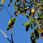 Wild green parakeet