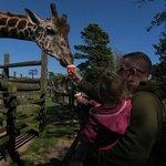 Feeding the giraffe.