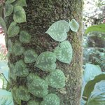 Some of the many plants you will see at Hawaii Tropical Botanical Garden.