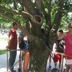 Surviving Pear Tree