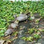 Черепахи в пруду храма.