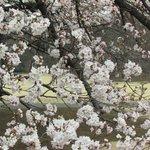 Cherry Flower in Apple blossom white colour