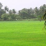 See the beauty of the rice field in the monsoon
