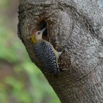 Hoffman's Woodpecker