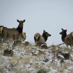 Elk on Walden's north mountains