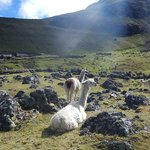 See llamas and alpaca herds up close